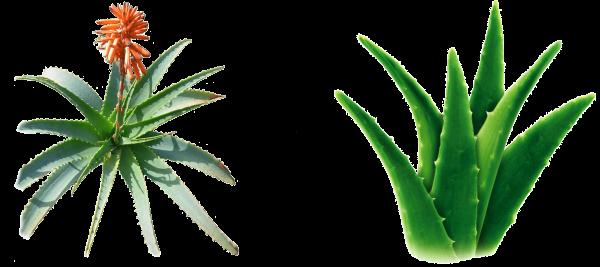 coltivare aloe
