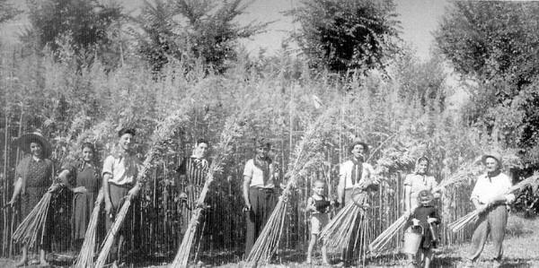 raccolta-della-canapa-tessile