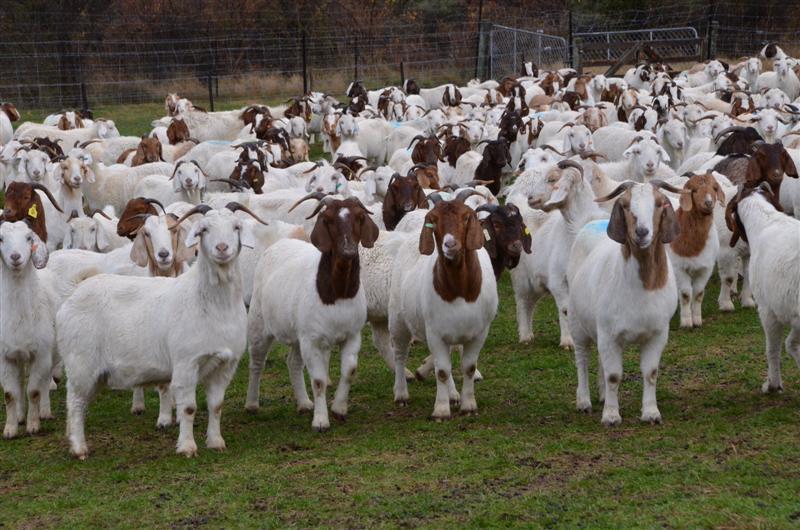 allevamento capre